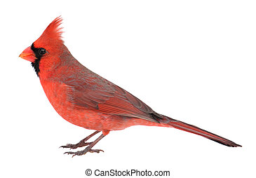 Northern Cardinal, Cardinalis cardinalis, Isolated - Male...