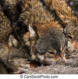 Restless truce - Wolf pack Model wolves