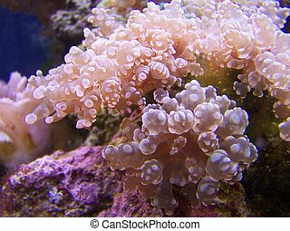 Brown Frogspawn Coral - Frogspawn coral can be succesfully...