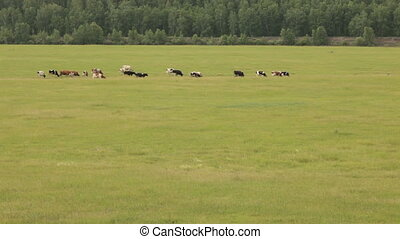 Cows - Herd of cows grazing on a pasture in summer