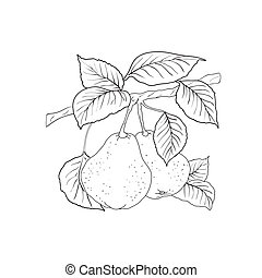 Two mature yellow pears with leaves on a branch A vector