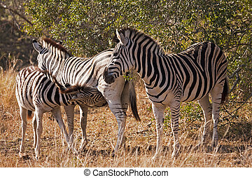 Baby Zebra Nursing - Zebras are odd-toed ungulates of the...