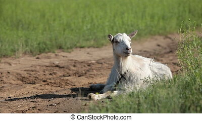 Goat - White goat on a pasture