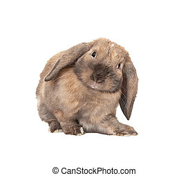 Dwarf lop-eared rabbit breeds Ram. In the Oriental calendar...