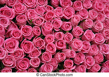 Pink Roses background - Beautiful Hot Pink Roses for...