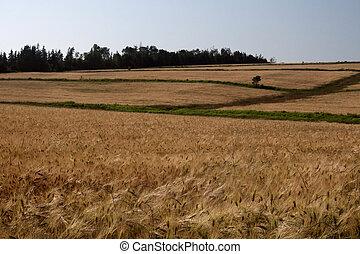 Grain Field - Ripe grain field in rural Canada