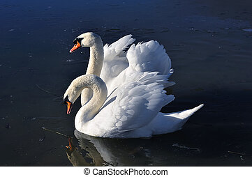 Two lovely swans on the frozen river