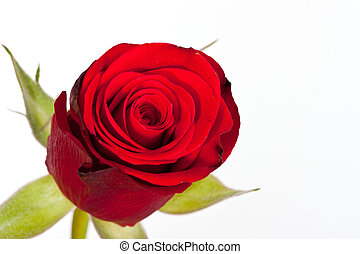 Macro shot of a red rose against a white background