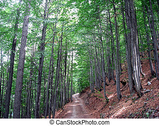 narrow path in a forest of green trees