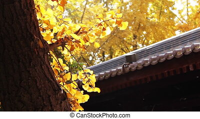 autumn_building_11.mov - maidenhair tree and chinese...