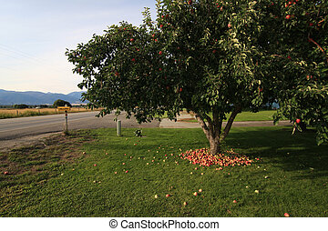 Apple tree with apples on the ground  in Montana, USA