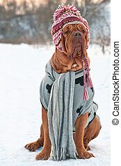 Huge Dogue De Borgeaux dressed with hat, scarf and sweater...
