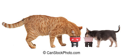 Chihuahua Puppy and Red Kitten are eating their meal isolated on white background