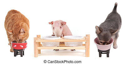 Eating Hungry Red Kitten, Chihuahua Puppy and Skinny Guinea Pig isolated on white background