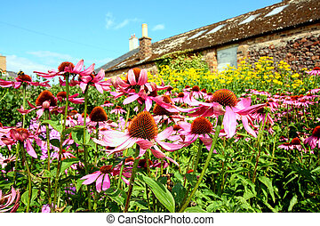 Echinacea purpurea also known as Rudbeckia purpurea - Purple...