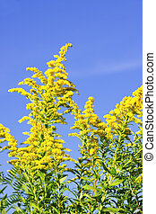 Goldenrod plant - Blooming goldenrod plant on blue sky...
