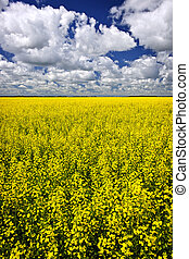 Canola field - Agricultural landscape of canola or rapeseed...
