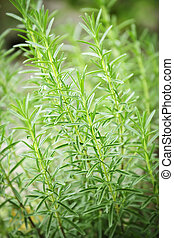 Rosemary herb plants