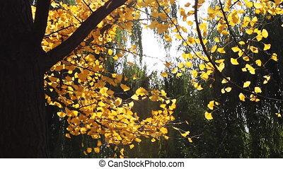 autumn_maidenhair tree_4.mov