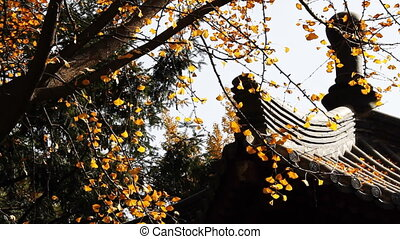 autumn_building_5.mov - maidenhair tree and chinese...