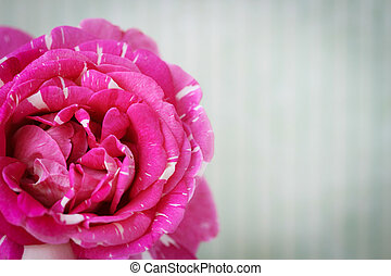 Retro postcard with pink rose - Retro postcard with close up...