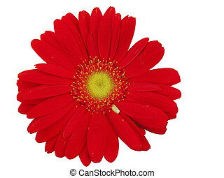 Red gerbera isolated in white