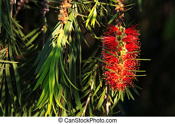 Bottlebrush leaves and Flower - Bottle brush leaves and...