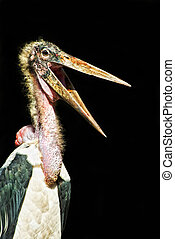 Marabou Stork Leptoptilos crumeniferus cut out with wide...