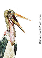 Marabou Stork (Leptoptilos crumeniferus) cut out with wide...