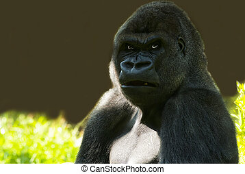 Gorilla angry looking - portait of a male Gorilla angry...