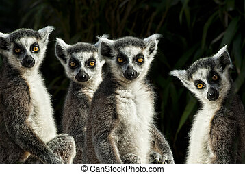 group of Ring-tailed Lemurs (Lemur catta) gazing