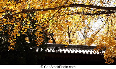 autumn_building_9.mov - maidenhair tree and chinese...