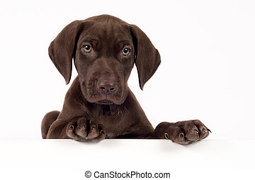 German shorthaired pointer on white background with space...