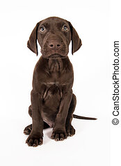 German shorthaired pointer sits on white background