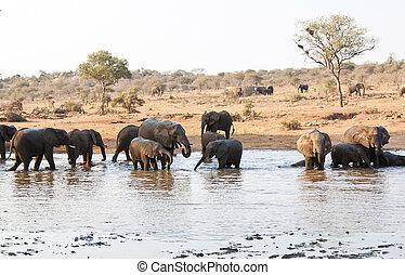Elephant herd drinking at waterhole in Africa