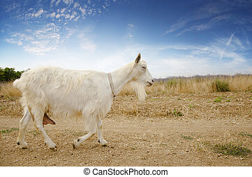 goat - adult white goat running on a dirt road along the...