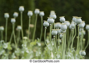 Opium poppy on green background - Green opium poppy (Papaver...