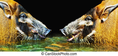 two Red River Hogs Potamochoerus porcus confronting each...