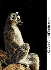 Ring-tailed Lemur (Lemur catta) portrait sitting on a trunk