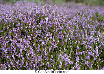 Calluna Vulgaris - Heather - Moorland in scottish Highlands