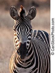Zebra at dusk in low light eating dry grass