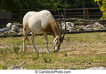 Scimitar-horned oryx Oryx dammah - The rare antilop in a...