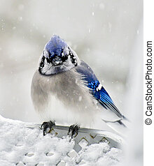 The Chilly Jay Bird - A blue jay in a blizzard poses for a...