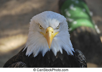 American eagle - portrait of an american egale looking to...