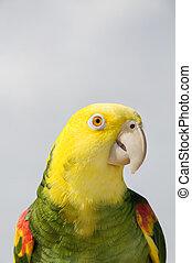 amazonka, Żółty, papuga, Głowiasty