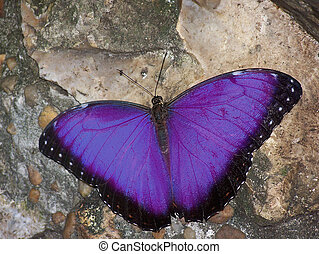 Purple Butterfly - Morpho Butterfly with color altered to...