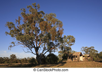 Tree and old Shack - A huge gum tree in front of an old...