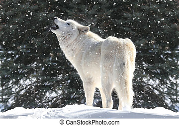 White Wolf In Snow - White Timber Wolf Canis lupus howling...