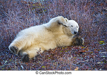 play time - a young polar bear plays on the tundra soil...