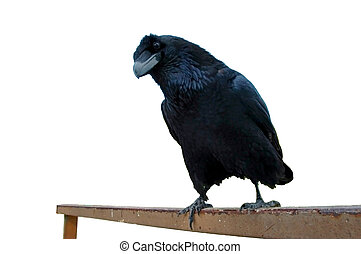 Raven (Corvus corax) - Isolated raven with white background